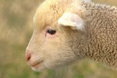 A week old lamb is so cute and innocent. poster