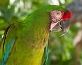 The Great Green Macaw Ara ambiguus also known as Buffon's is a Central and South American parrot found in Nicaragua Costa Rica Panama Colombia and Ecuador. Here it is seen in it's natural habitat looking directly at the camera. poster
