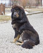 Dog breed Tibetan Mastiff sits on a macadam poster