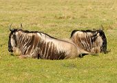 Big and heavy antelope gnu (wildebeest) resting poster