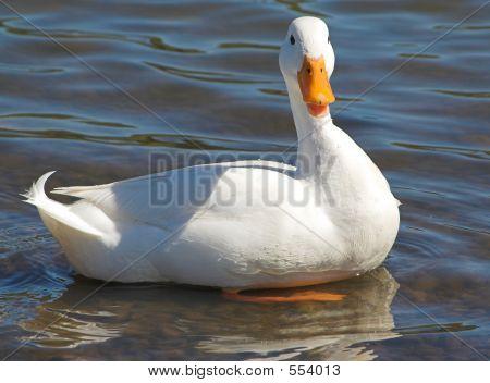 Pristine White Duck