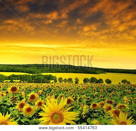 spring landscape with sunflower field in the sunset