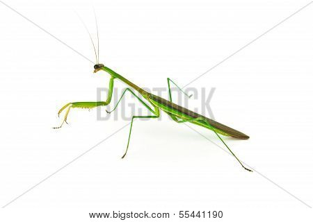 Green Preying Mantis isolated on white background. poster