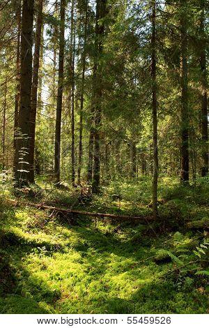 Sun Light In The Coniferous Forest. Valday, Novgorod Region, Russia