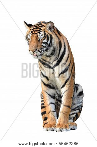 a bengal tiger isolated on white background poster