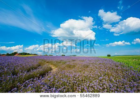 Field of blooming Lacy phacelia (Phacelia tanacetifolia) at a beautiful summer day
