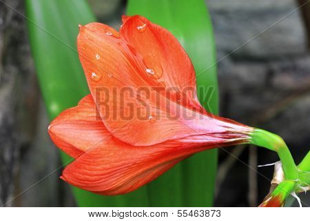 Blooming Red Amarilis And Water Drops After Rain