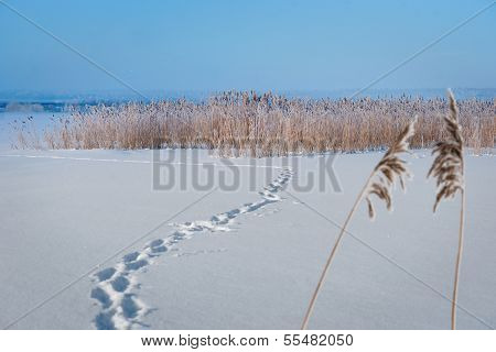 Frozen Lake With Reeds