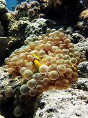 A juvenile anemonefish protected by bubbly anemone poster