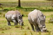 Two white rhinoceros grazing on the grass poster