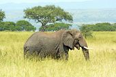 African Elephant in the Savannah of Murchison Falls National Park in Uganda poster