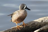 Blue-winged Teal (Anas discors) Standing on a Fallen Log - Texas poster