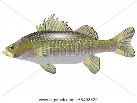 sea bass isolated on a white background poster