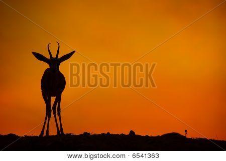 Gazelle by sunset