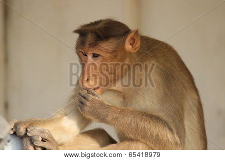 a monkey with its hand over the mouth indicating a gesture of being in deep thought poster