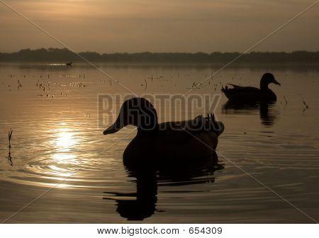 Mallard ducks float on a peaceful Florida morning. poster