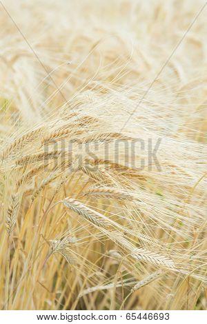 Ears Of Ripe Barley