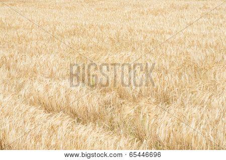 Field Of Barley Ear Is Ripe