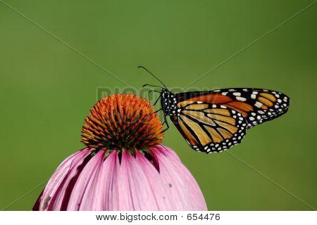 Monarchfalter