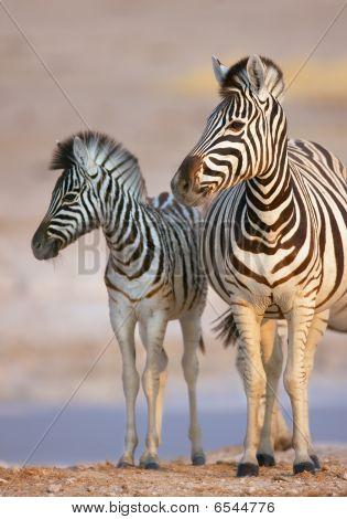 Zebra Cow And Calf