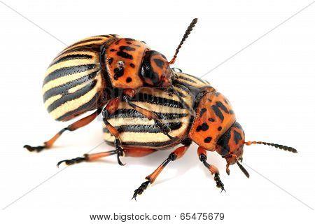 Copulate colorado beetles