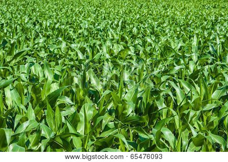 Green Cornfield Under The Sun
