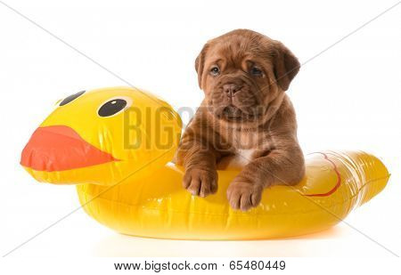 dog water safety - dogue de bordeaux in floatation device