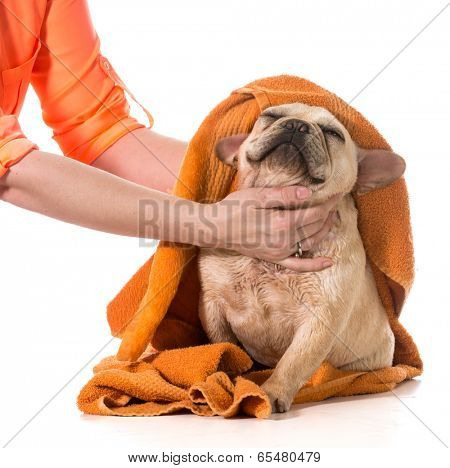 drying french bulldog off with a towel after bath