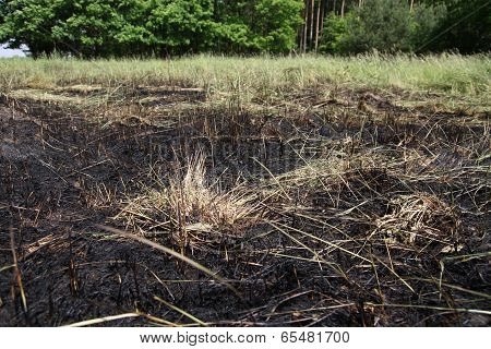 Meadow after fire