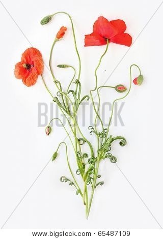 Red poppy (Papaver rhoeas) with out of focus wheat field in background. The petals from off ancient past use in the treatment lung diseases, and as tranquilizer.