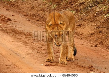Juvenile Lion On A Dirt Road