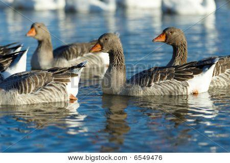 Goose flight