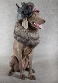 Image of a Weimaraner dog wearing clothes of Victorian style poster