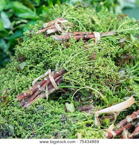 Siamese neem tree