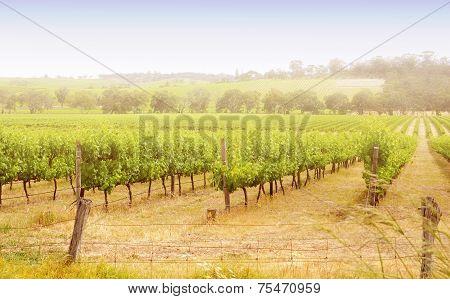 Rows Of Grapevines Taken At Australia's Prime Wine Growing Winery Area In Mclaren Vale, Fleurieu Pen