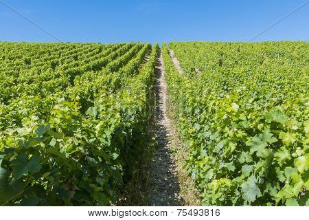 Vineyard In Sancerre