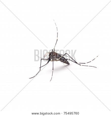 Mosquito Of Dengue - Aedes Aegipty On White Background