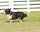A young healthy beautiful brindle black tan and white Welsh Corgi Cardigan dog with a long tail walking on the grass happily. poster