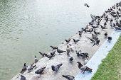 A group of pigeons at pool edge, Bangkok, Thailand poster