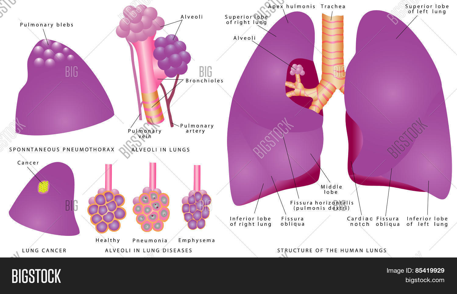 Structure Human Lungs Vector Photo Free Trial Bigstock