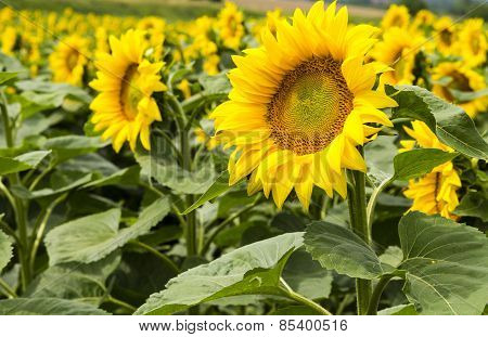 Large Happy Sunflower And Sunflower Oil Crop On A Sunny Day In The Tarn-et-garonne Region