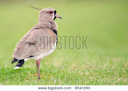 Southern Lapwing (Vanellus chilensis) in a field in Argentina. poster