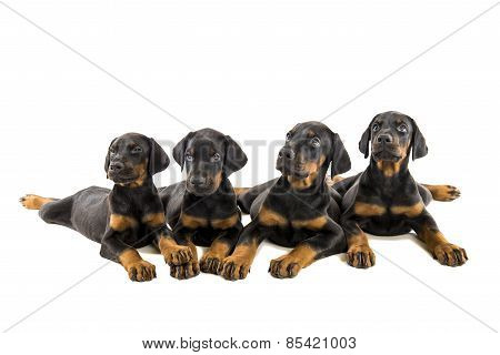 Puppies Doberman Pinscher