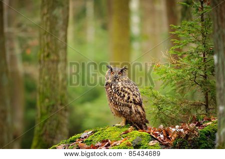 Eurasian Eagle-owl In Forrest