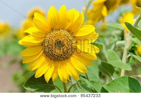 Bright yellow sunflower in the sunflower field