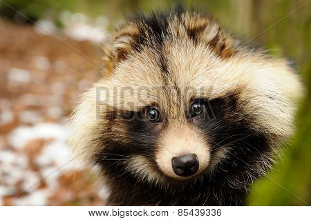 Raccoon Dog, Cute Close-up Portrait
