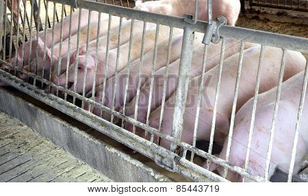 Pink Pigs In The Sty Of The Farm Animal Breeder