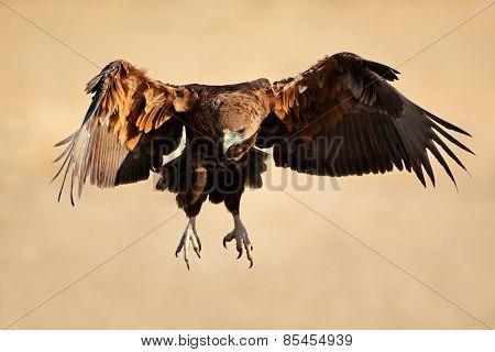 Immature Bateleur eagle (Terathopius ecaudatus) in flight, South Africa
