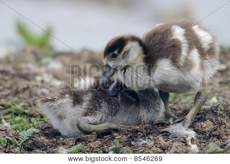 young and fluffy recently hatched egyptian geese poster