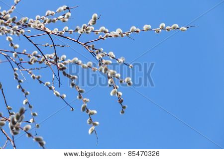 Pussy Willow Branches With White Catkins On Blue Sky